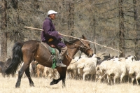 GER to GER Mongolia - Learn how the rural Mongolian nomadic families herd their livestock