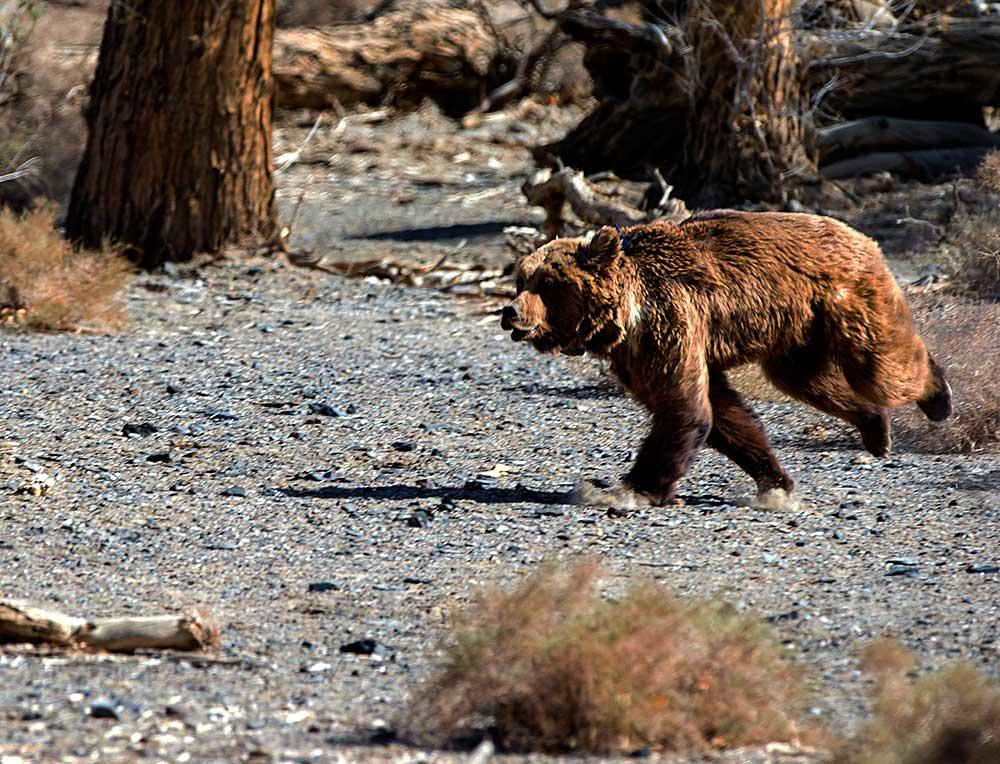 GERtoGER-Hureelen-Project-Copyrighted-Gobi-Bear-2015