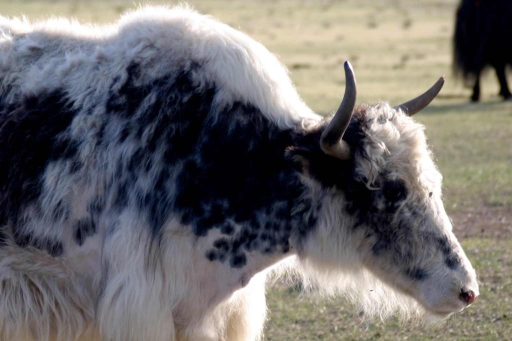 GER to GER GEOtourism Mongolia - Mongolia Yak Festival